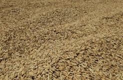 Rijst ligt te drogen in de zon.